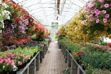 Colorful rows of flowers and hanging baskets in greenhouse